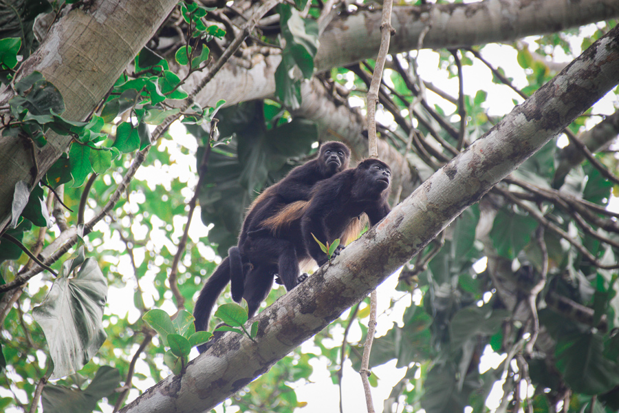 Howler monkeys on site