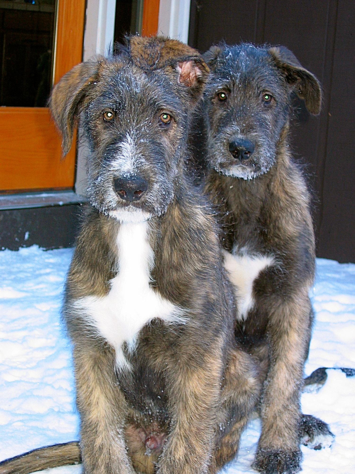 Irish Wolfhound Puppies Ballyhara