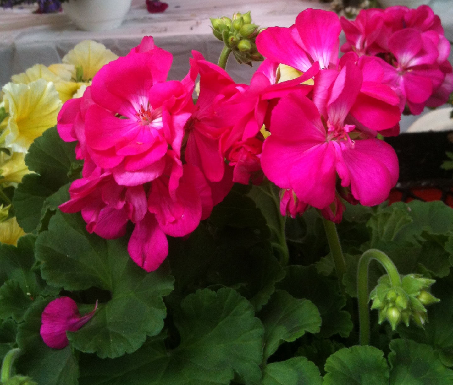 Geraniums at the market