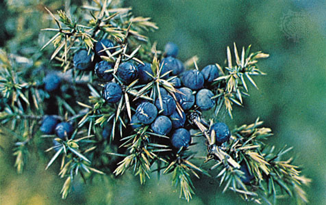 Juniper for incense