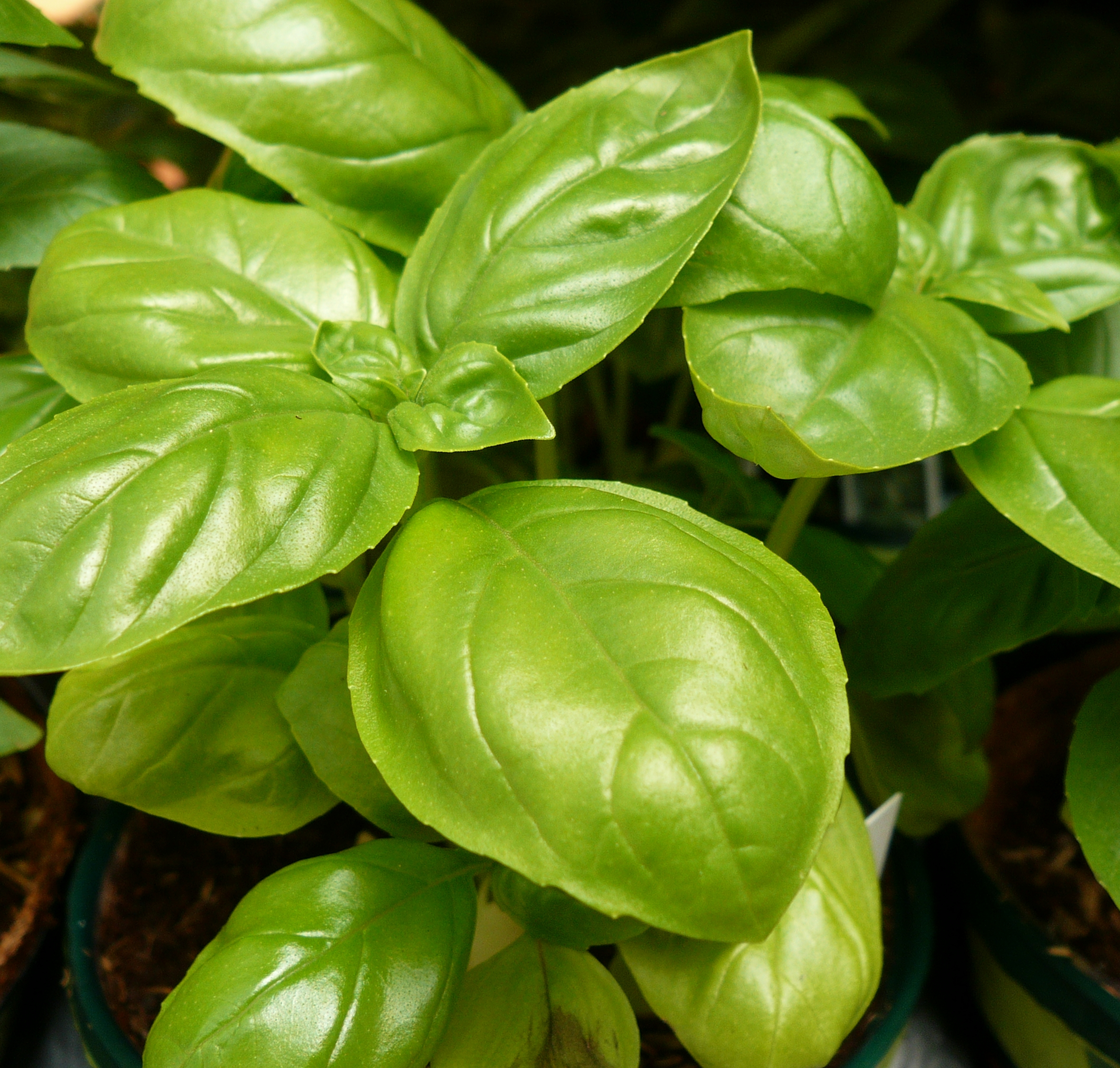Fresh basil...very potent!