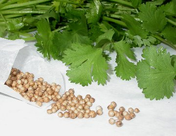 Cilantro leaves and coriander seeds