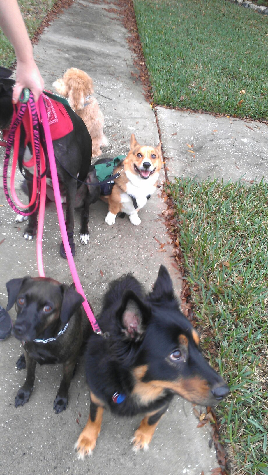 Taking 5 dogs on a pack walk