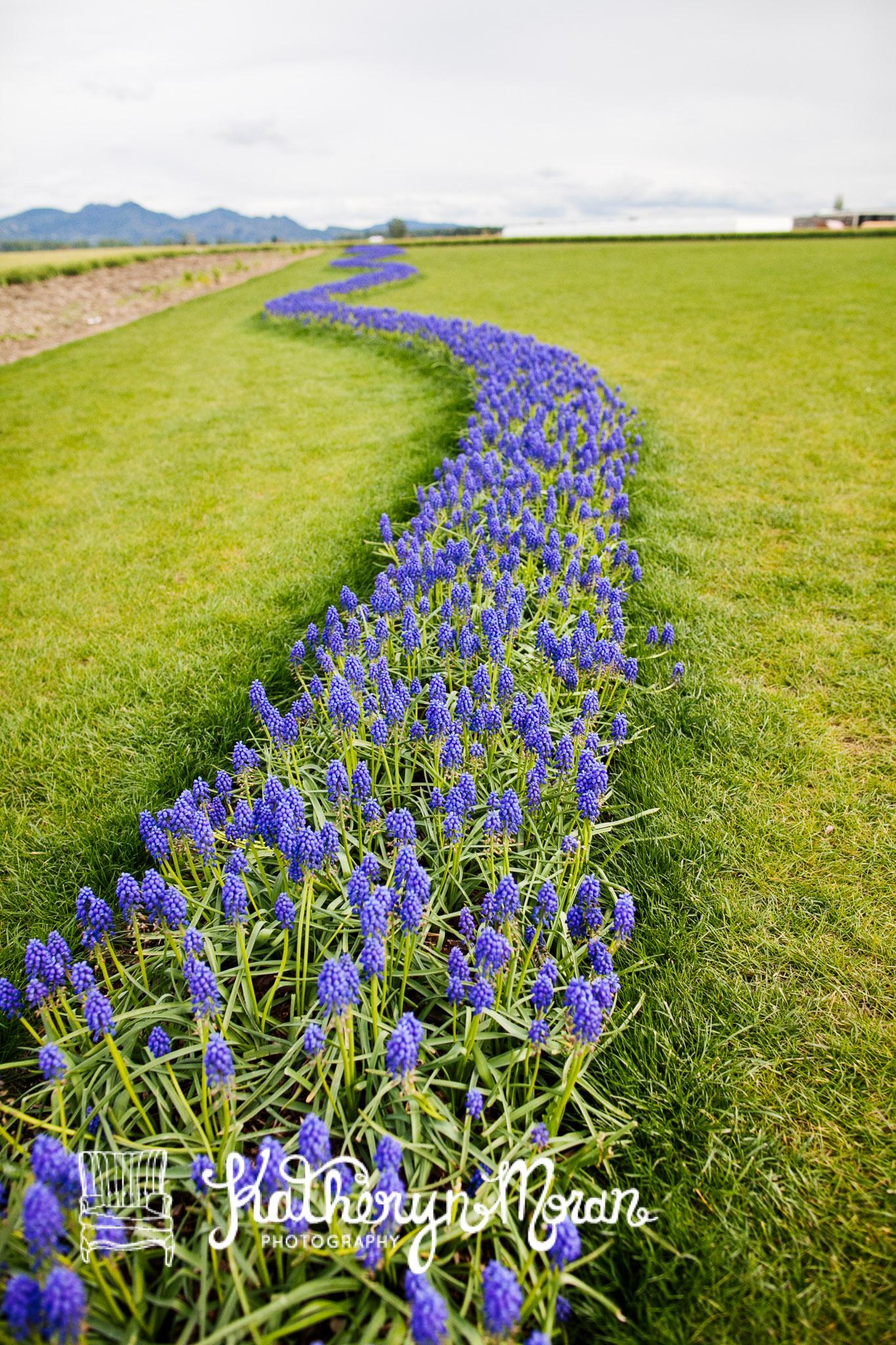 Tulips--3-2.jpg