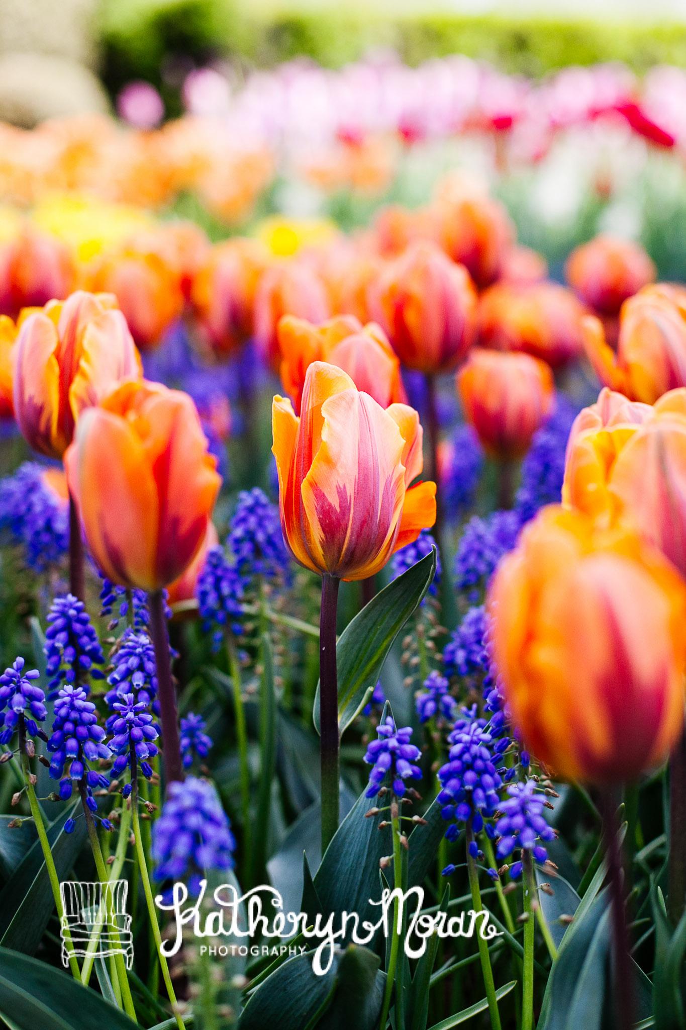 Tulips--2.jpg