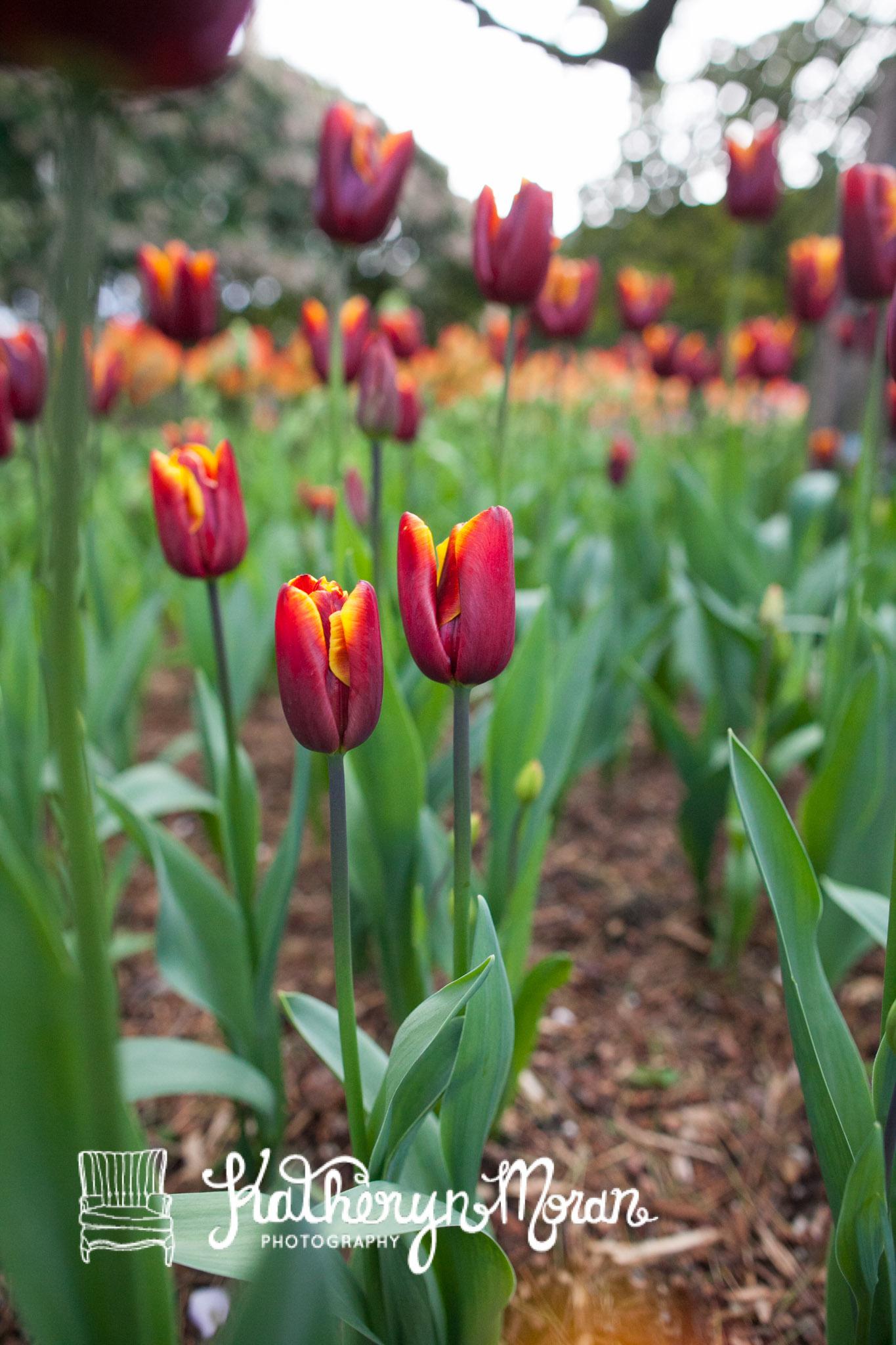 Tulips-3221.jpg