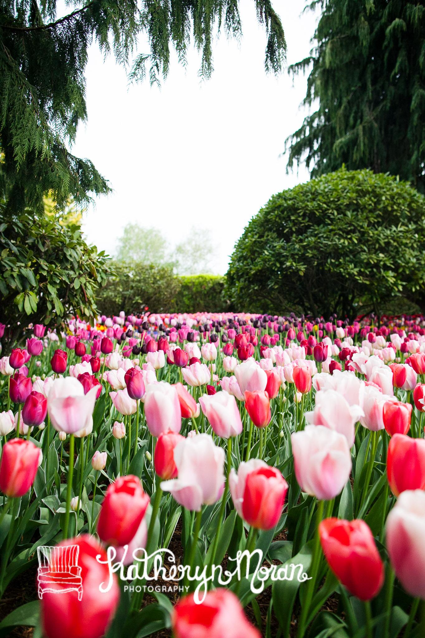 Tulips--2-4.jpg