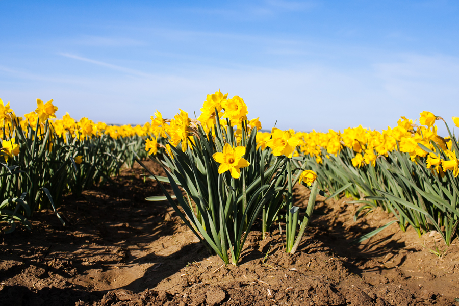 003-mount-vernon-washington-daffodils-norley-family.jpg