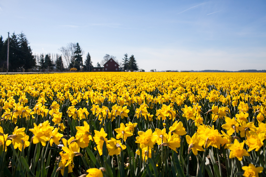 022-mount-vernon-washington-daffodils-norley-family.jpg