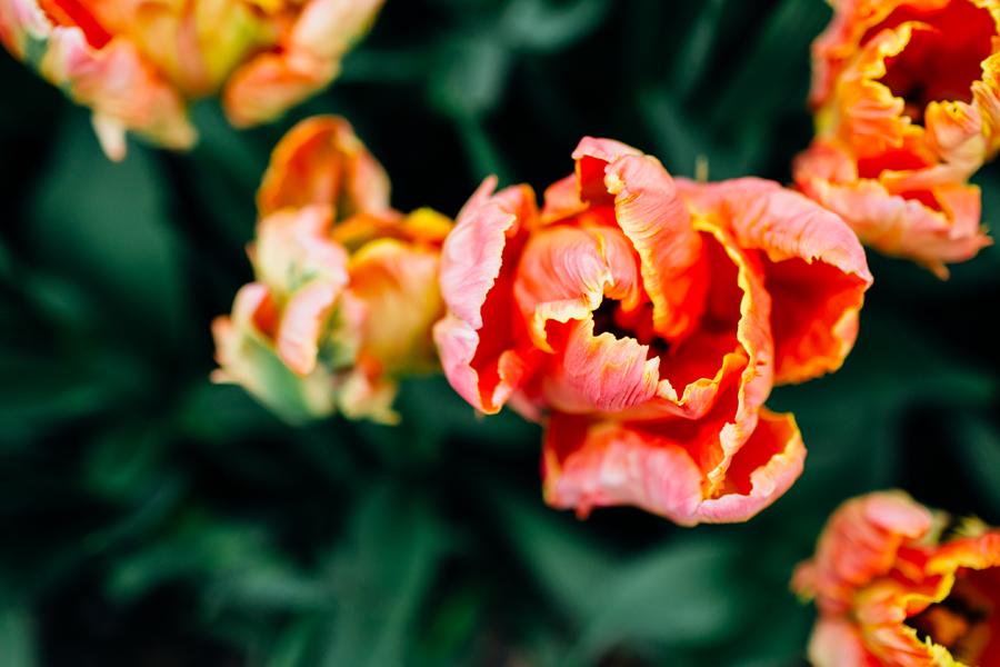 004-bellingham-skagit-photographer-photo-tulip-festival-katheryn-moran.jpg