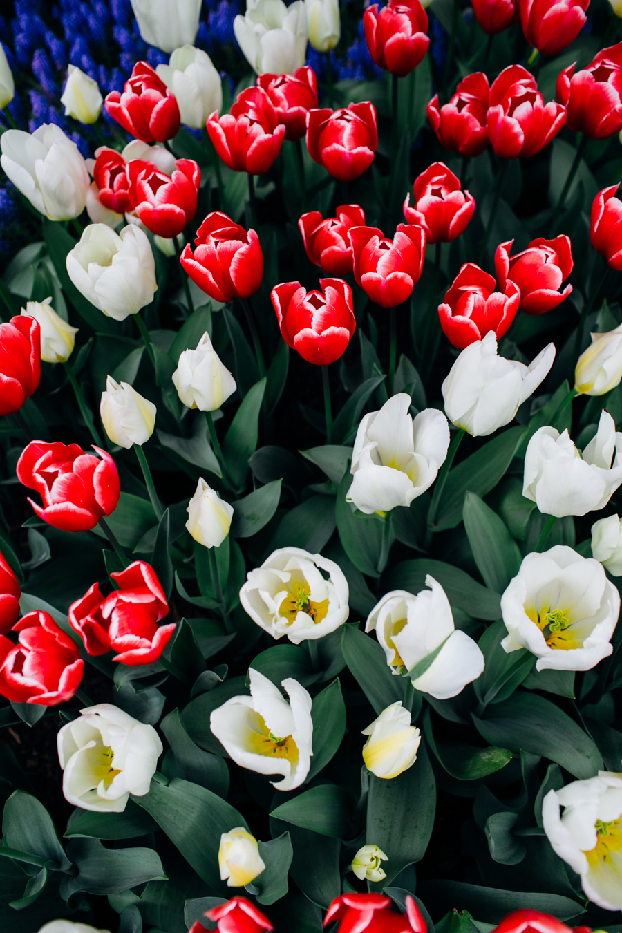 012-bellingham-skagit-photographer-photo-tulip-festival-katheryn-moran.jpg