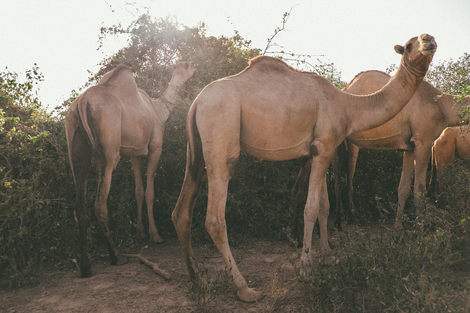 ^ Then out of nowhere, two young boys and their herd of 50+ camels showed up.