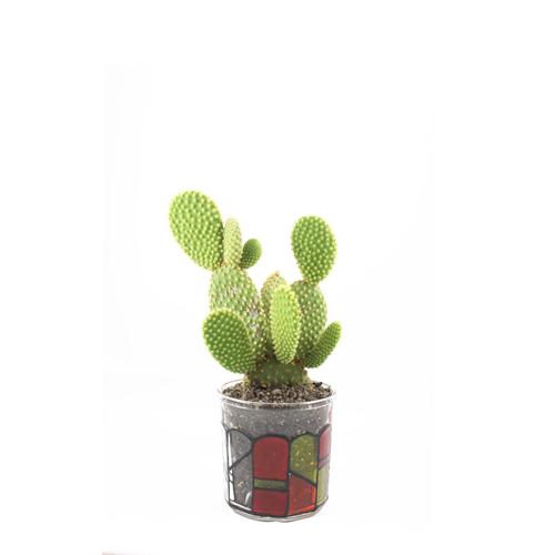 Finally got a Mickey Mouse Ear Cactus.