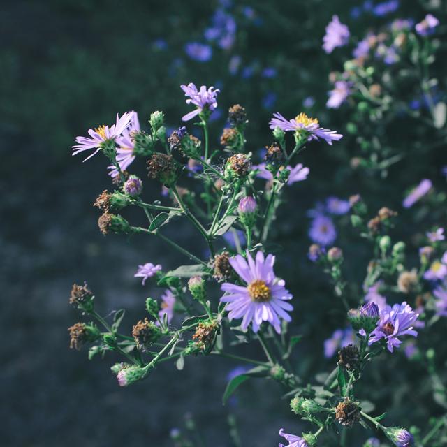 Purple wildflowers, 1.