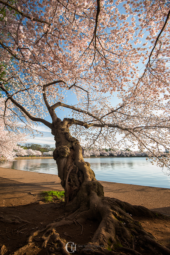 Beautiful tree in the peak of Cherry Blossom