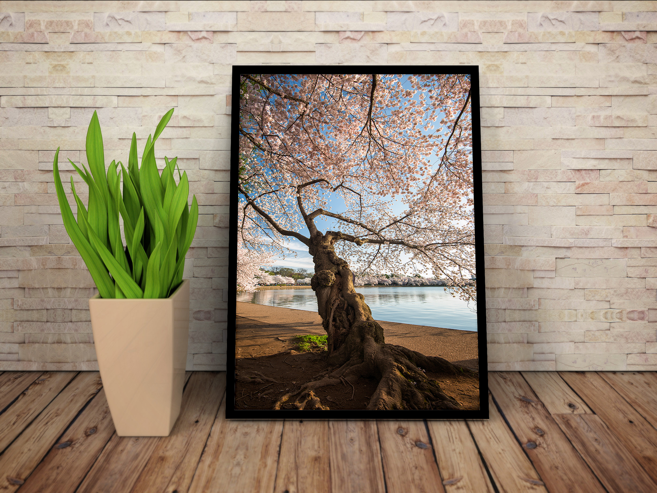 Cherry Blossom in Washington DC. One of many prints available.
