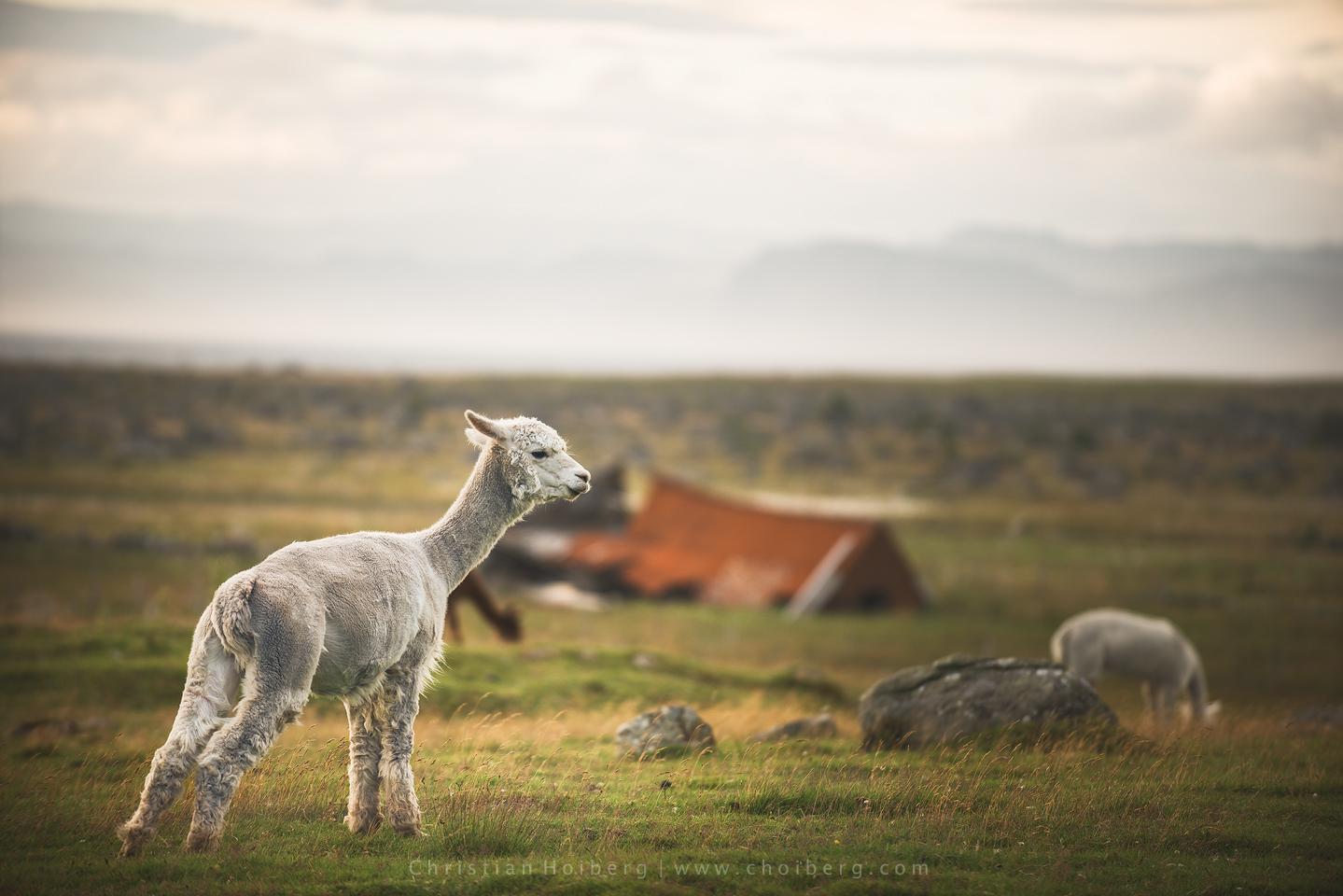 Alpaca-Norway