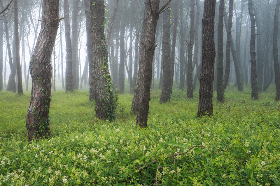Los-Pinares-de-Liencres-Fog.jpg