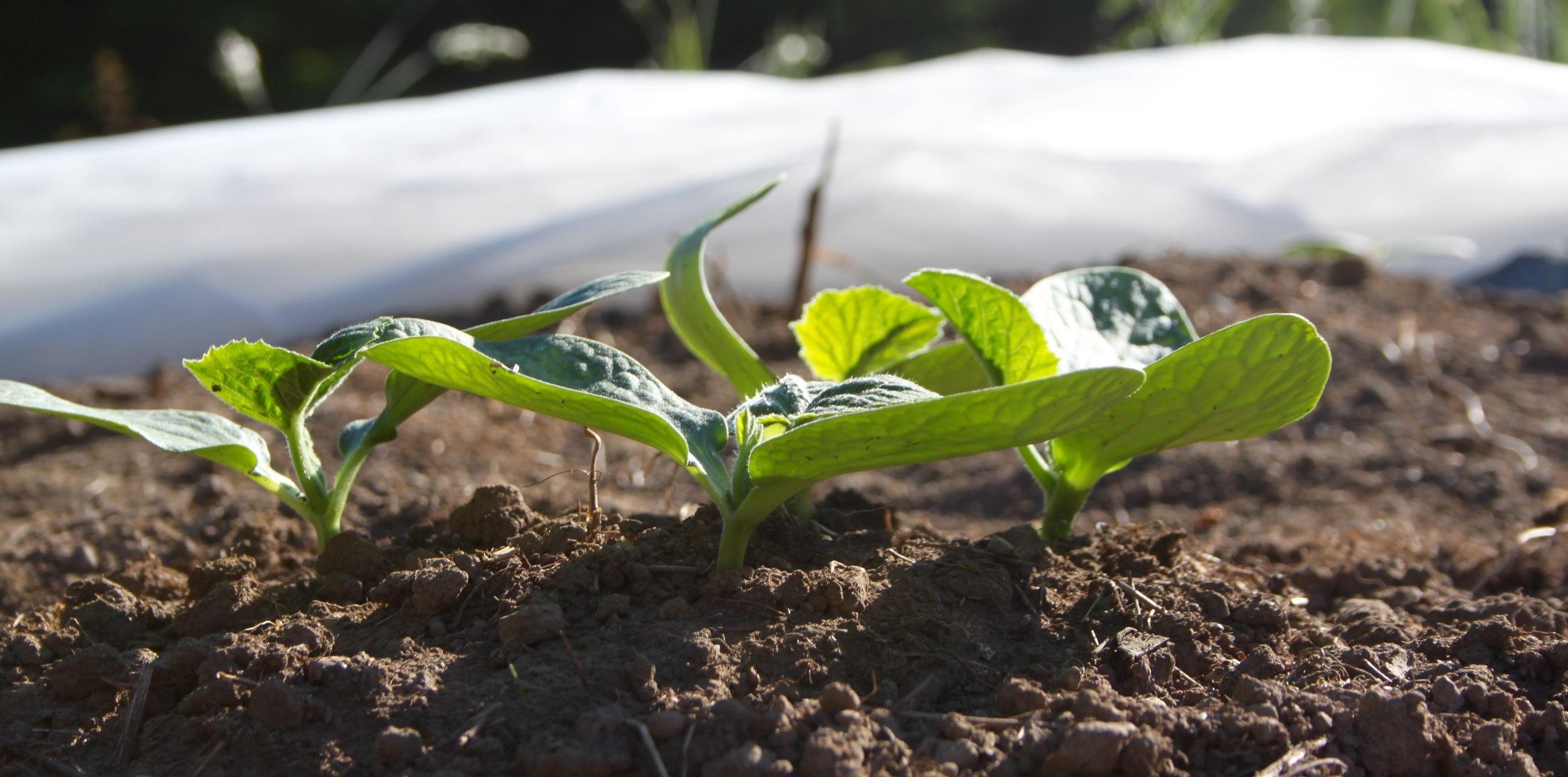 sprouting squash!