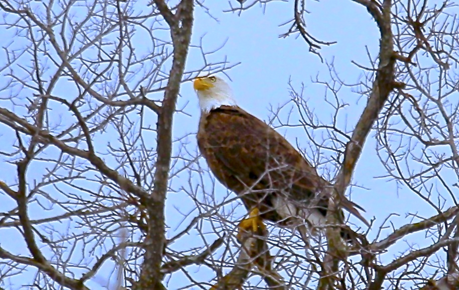 Bald Eagle spotted in the Village