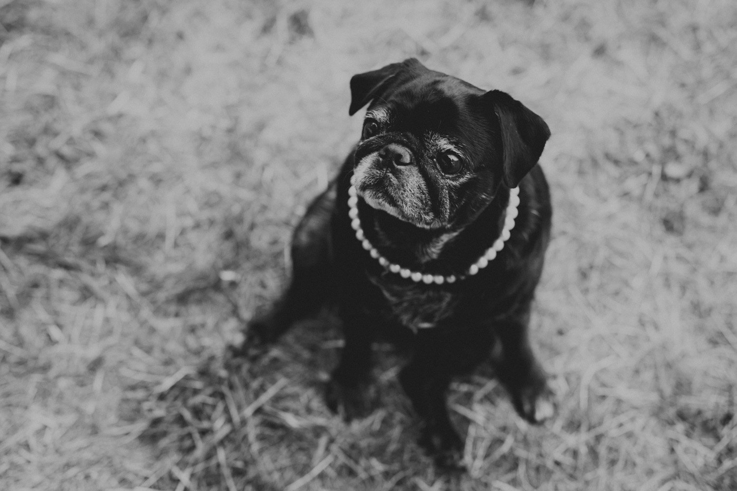 A pug in pearls