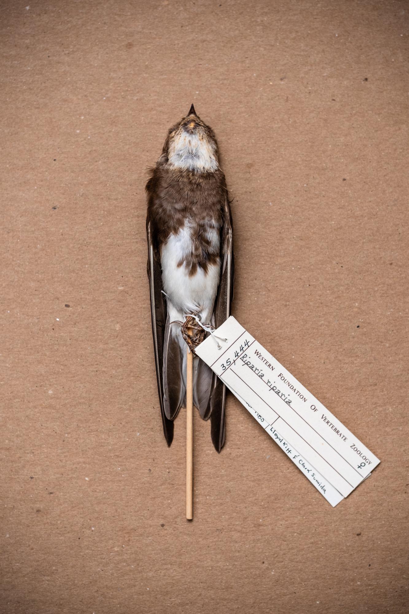 Bank swallow (Riparia riparia)