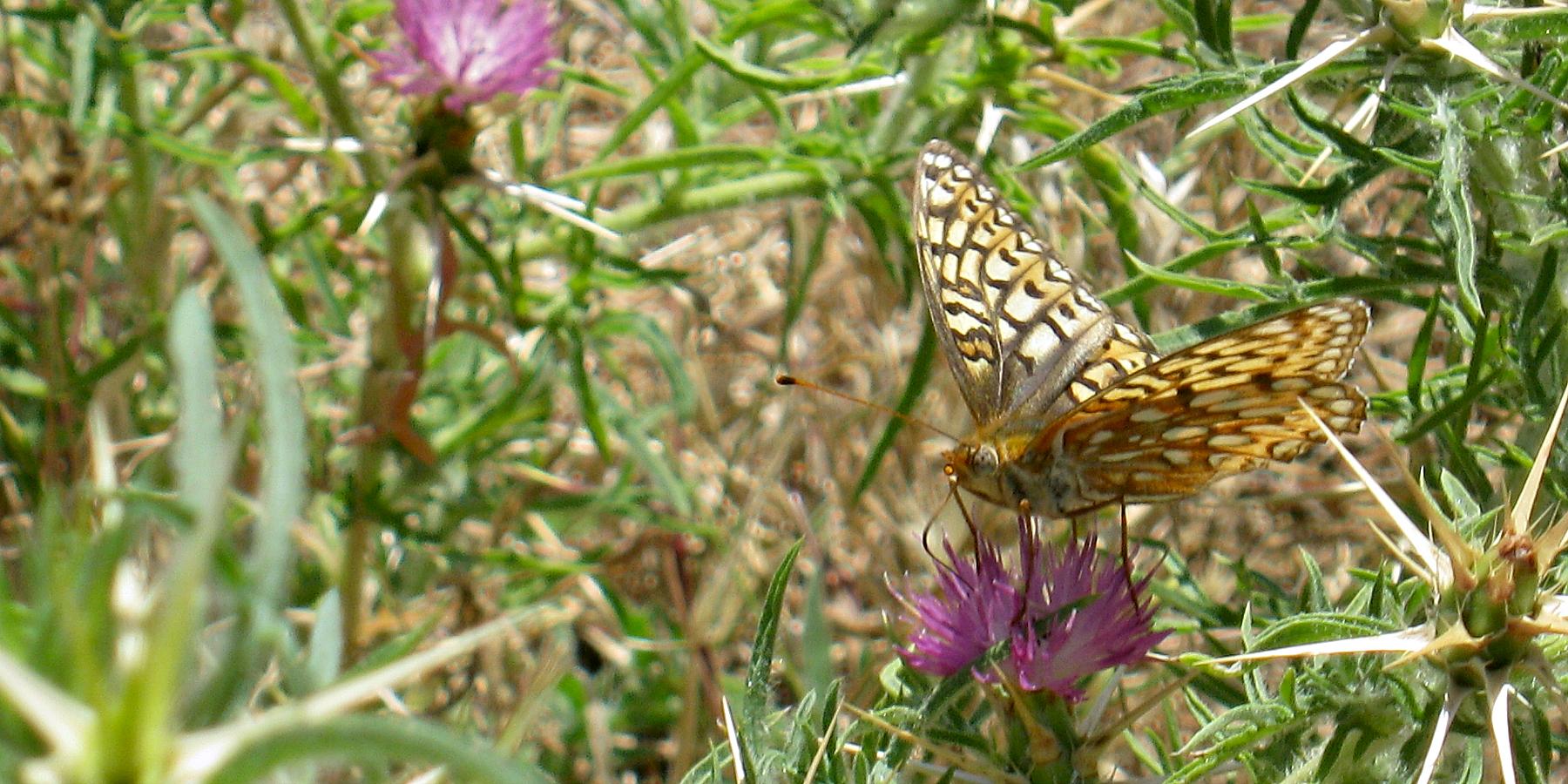 Calippe Silverspot Butterfly