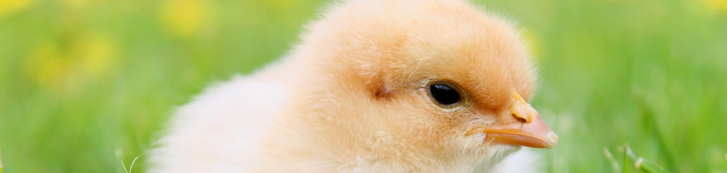 Chick Supplies -