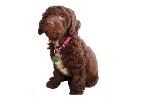 Taloodles Daisy at 8 weeks of age