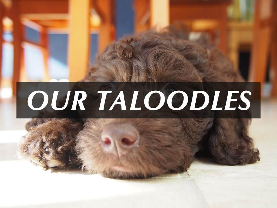 Our Taloodles.jpg