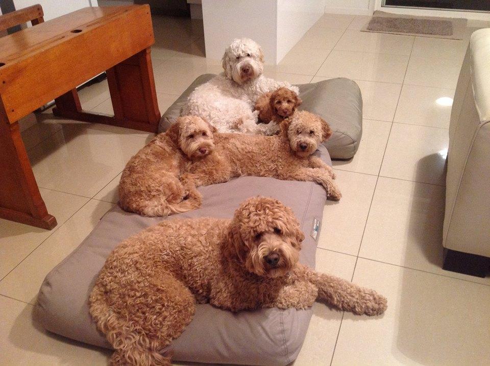 Taloodles Archie, Fergus, Poppy and Wagner withBeau