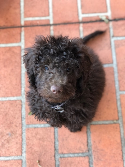 TALOODLES GEORGE   Also know as Georgie Porgie! George has only just started his training and is proving to be a quick learner! George is a very confident, outgoing pup who does everything with a wagging tail and a bounce!