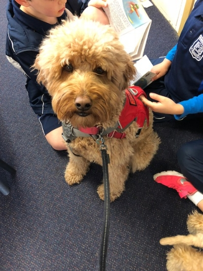 THE CHILLI DOG AKA CHILL PILL   Chilli is a very special dog, whatever life throws at Chilli he accepts with a body wiggle and a smile, he loves working in the classroom where he never misses an opportunity to back himself up and sit on the kids' lap when they are reading or talking to him.