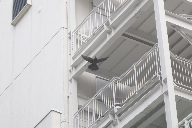 Shinjuku Ravens, Tokyo