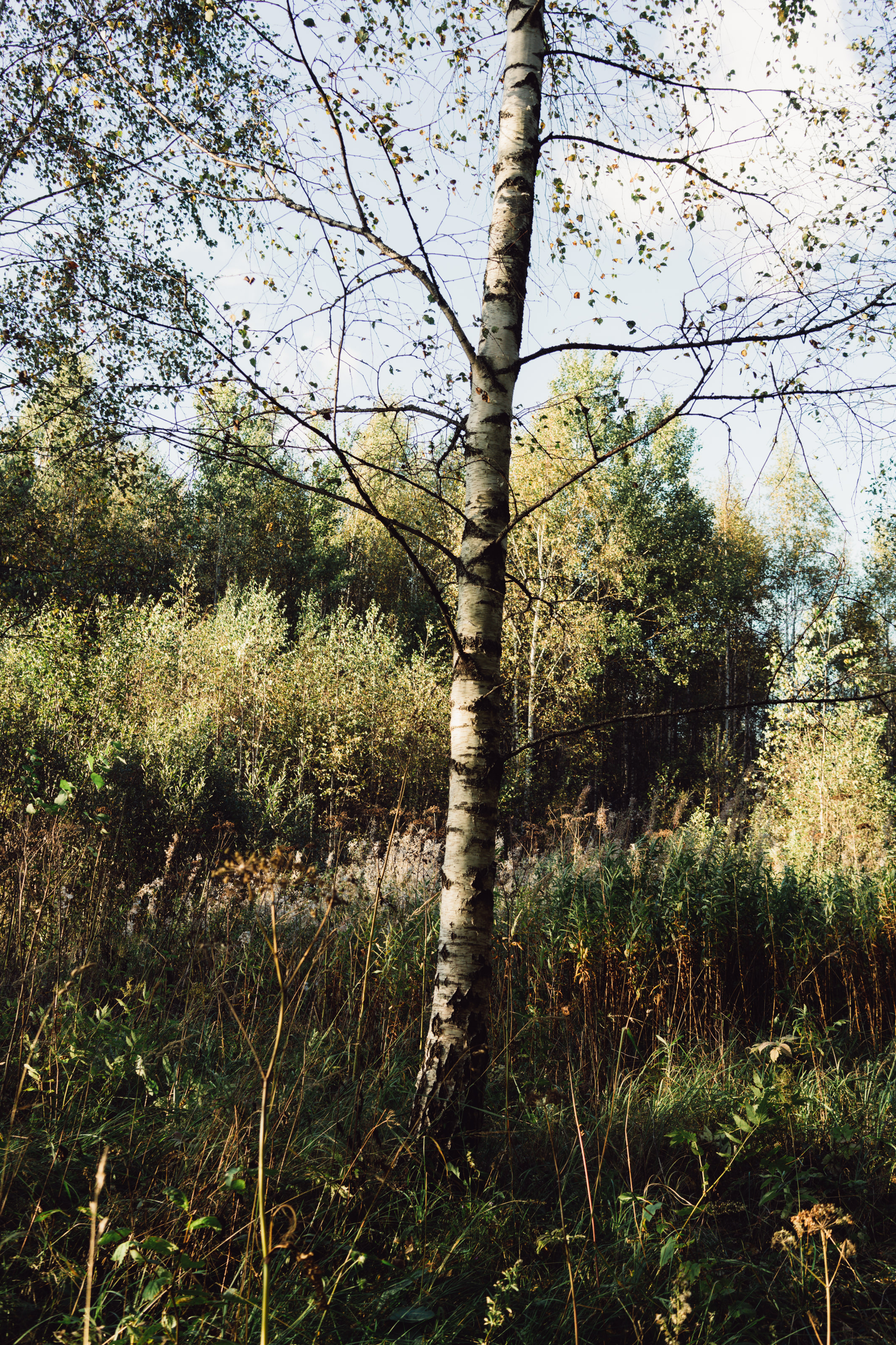 The White Birch, which Armillaria loves to infect.