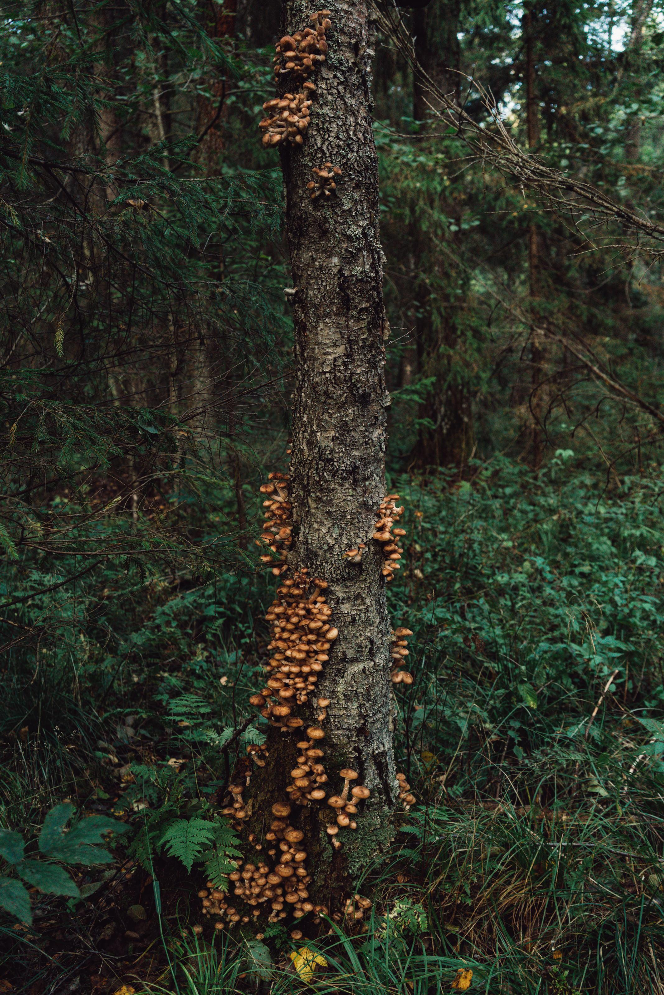 Honey Mushrooms on a decaying birch.
