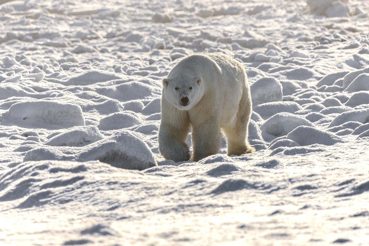 Large Male Polar Bear Approaching at the Edge of Hudson Bay