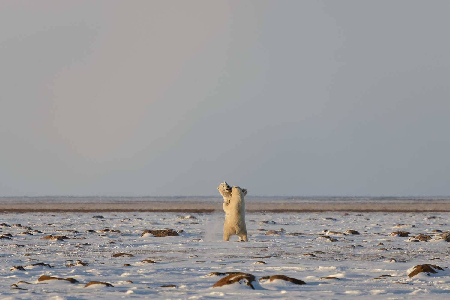 Male Polar Bears Sparring on the Tundra 3