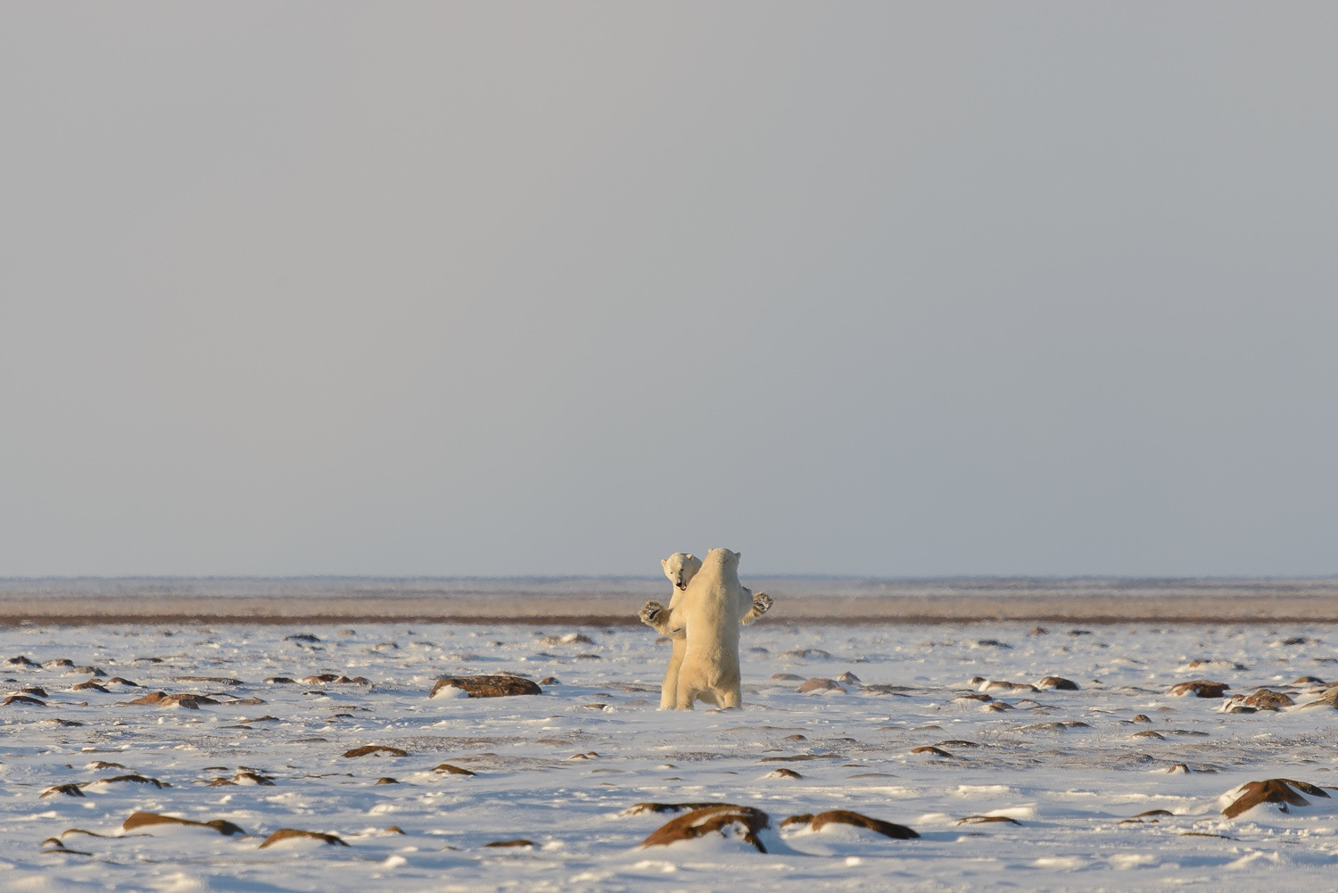 Male Polar Bears Sparring on the Tundra 4