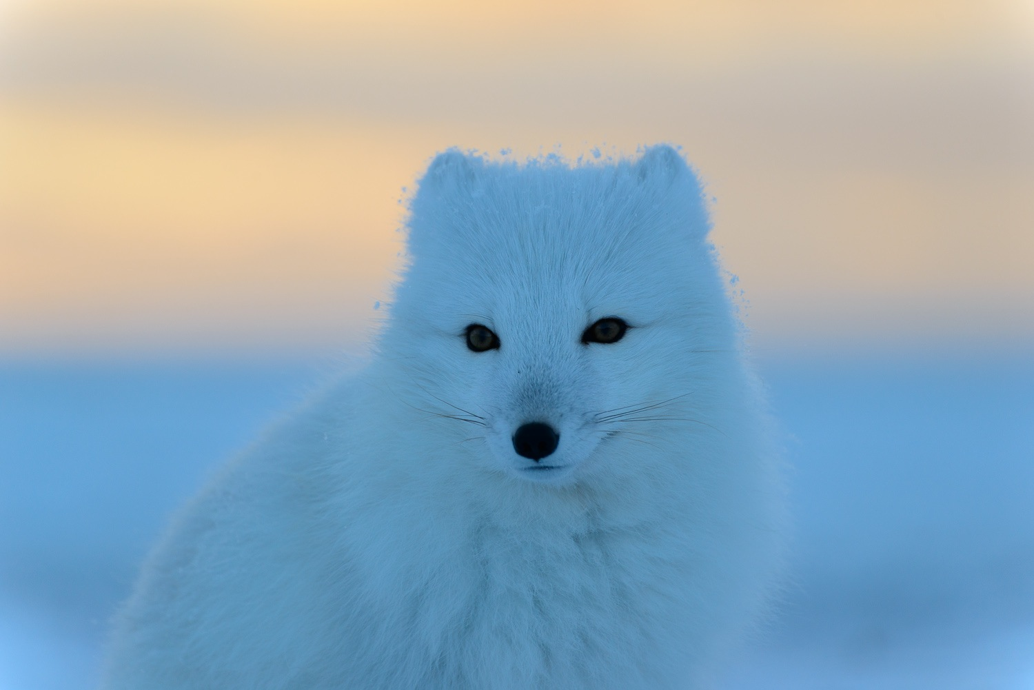 Portrait of an Arctic Fox at Sunset