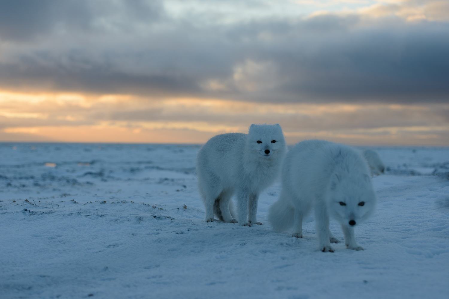 Portrait of Two Arctic Foxes on the Tundra at Sunset