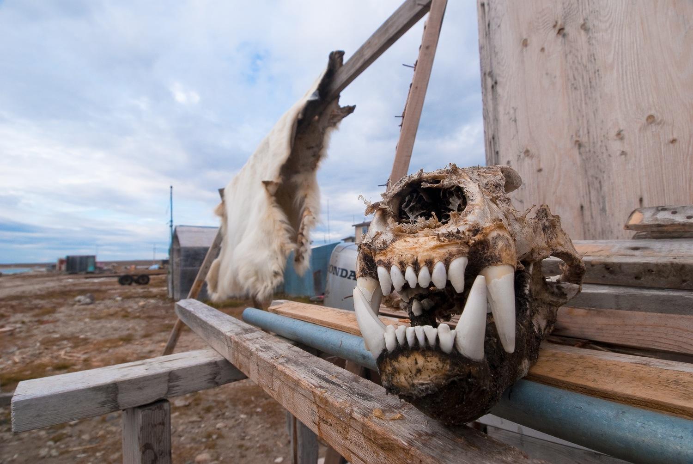 Polar Bear Skull and Hide
