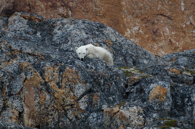 Starving Polar Bear on The Rocks