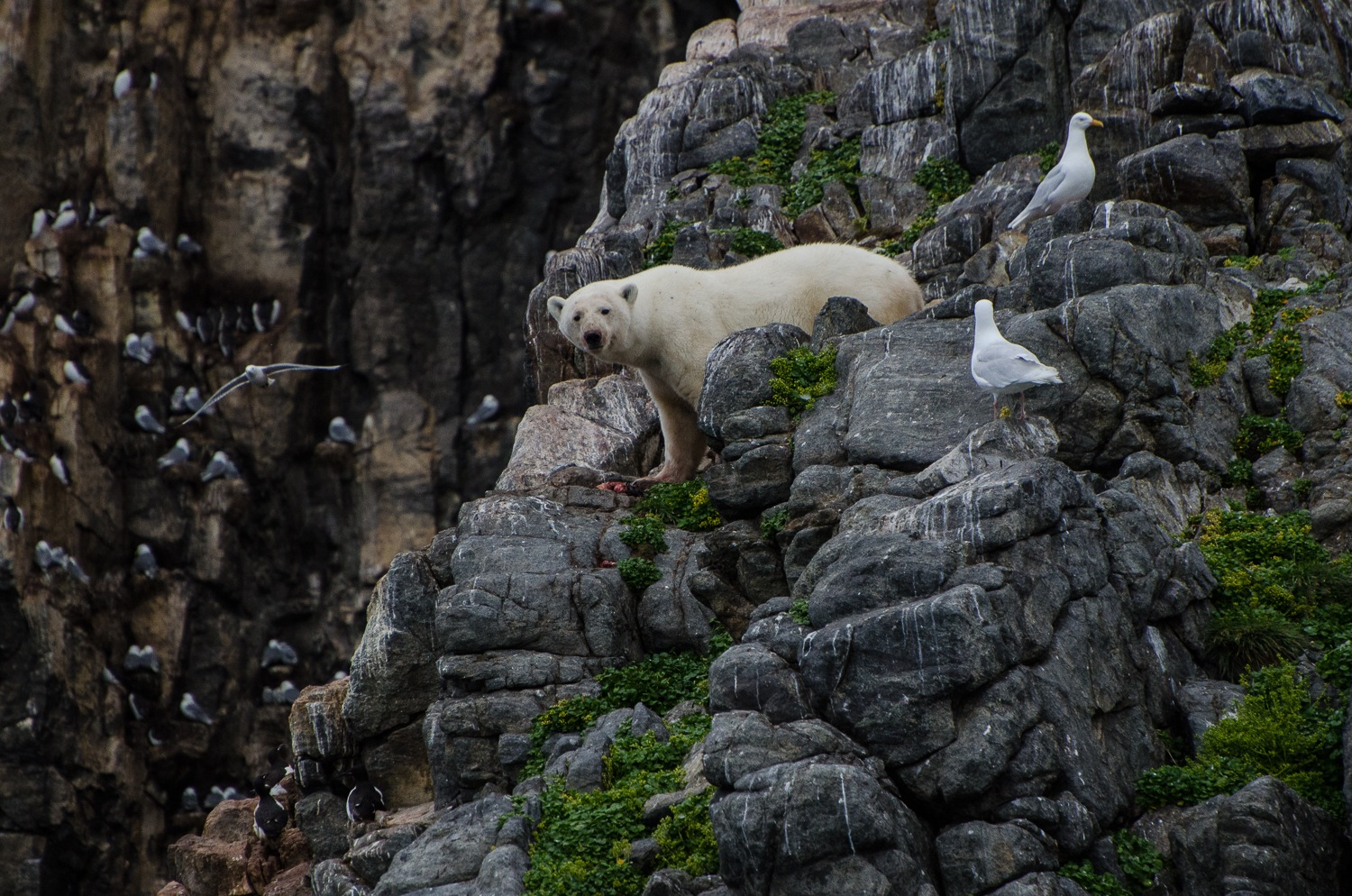 Stranded Polar Bear Surviving Until Freeze-Up in a Seabird Colony