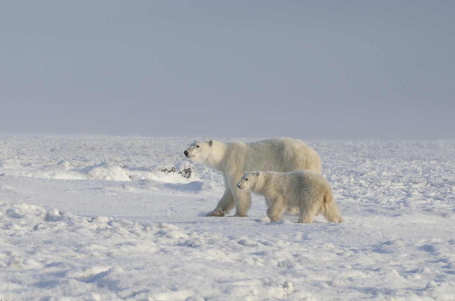 Mother and Cub Polar Bears at the Edge of Hudson Bay