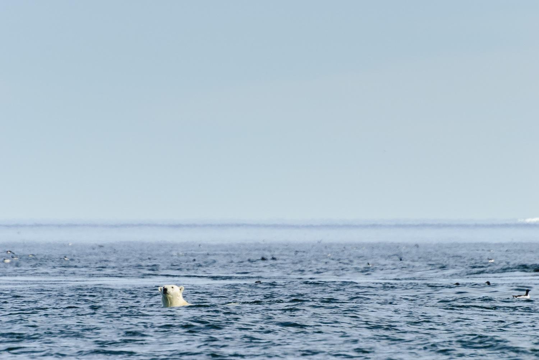 Swimming Polar Bear Spy-Hopping