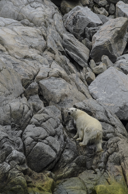 Stranded Polar Bear Emerging From The Sea