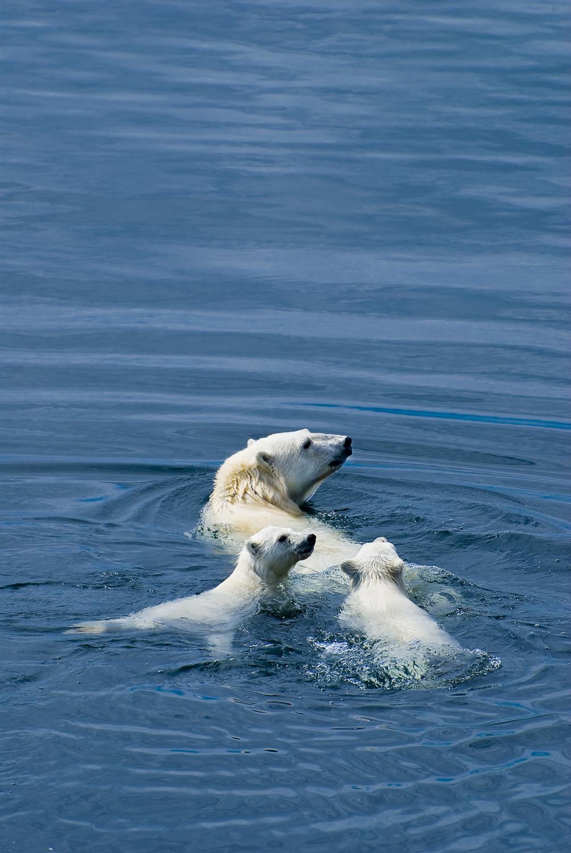 Polar Bear Mother and Cubs at Sea