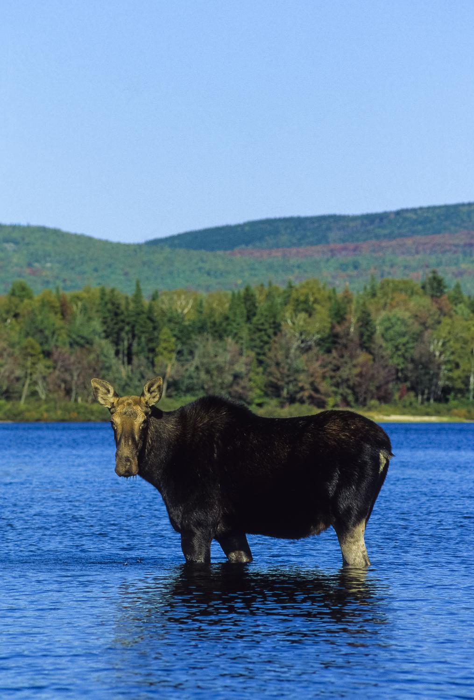 The Moose at Moose River