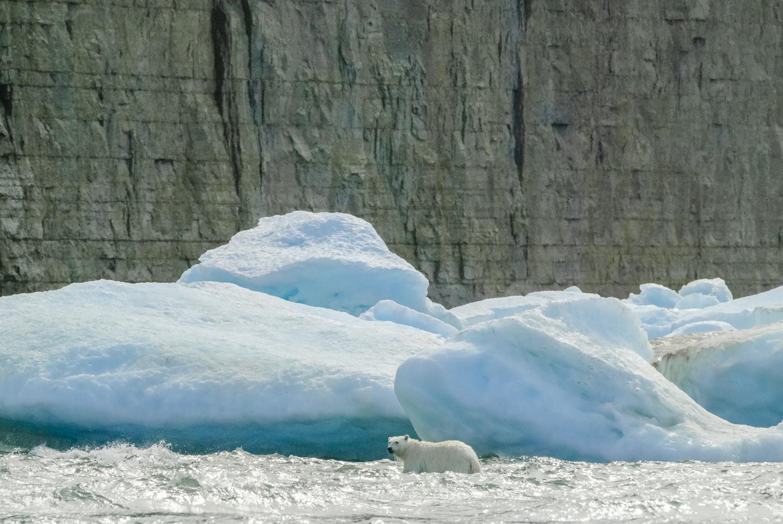 Stranded Polar Bear in the Surf